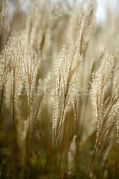 Mediterranean wild golden spikes Stock photo © lunamarina