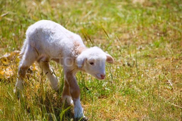 Baby lam pasgeboren schapen permanente grasveld Stockfoto © lunamarina