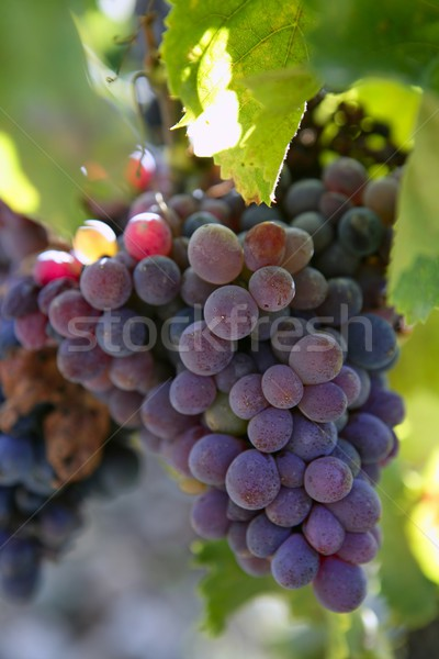 Black red grape for wine production in Spain Stock photo © lunamarina