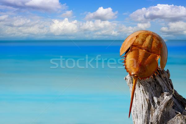 Cacerola de mar Limulus polyphemus Mexico Stock photo © lunamarina
