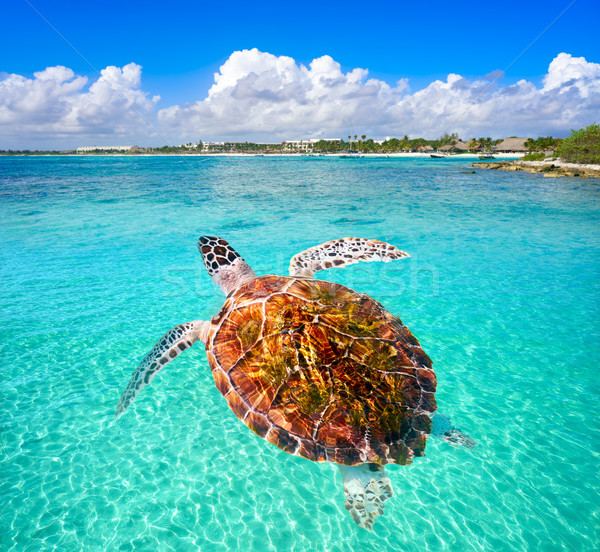 Akumal beach turtle photomount Riviera Maya Stock photo © lunamarina