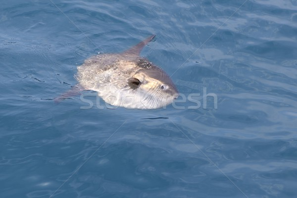 sunfish in real sea nature mola mola luna sun fish Stock photo © lunamarina