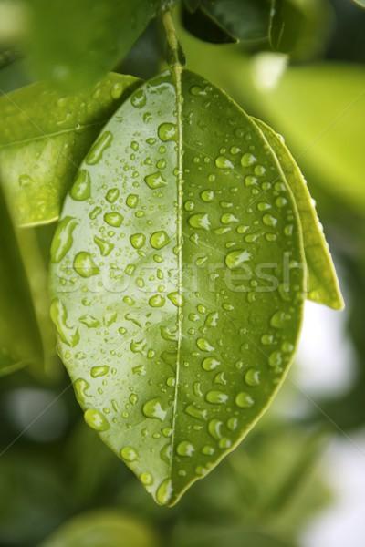 water drops on an orange tree green leaf Stock photo © lunamarina