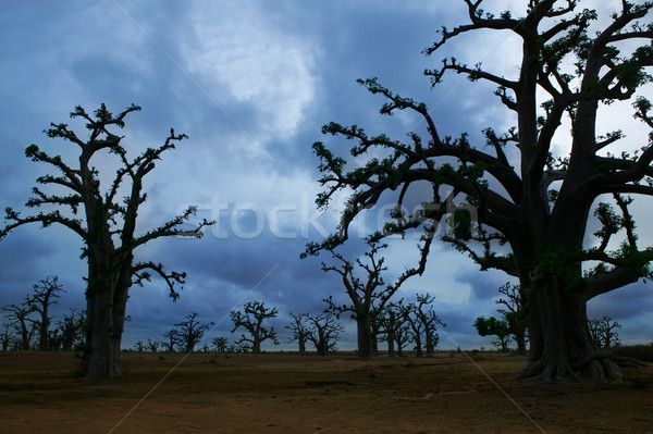Africa Baobab trees in a cloudy day Stock photo © lunamarina