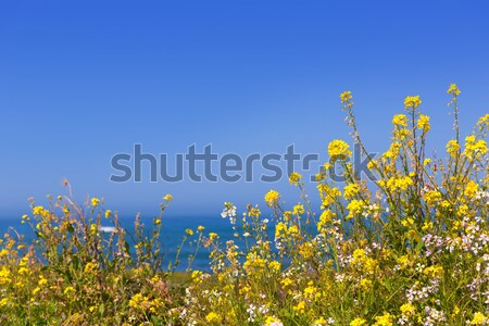 California Pigeon point spring flowers in Cabrillo Hwy coastal h Stock photo © lunamarina