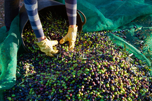 Olives harvest picking hands at Mediterranean Stock photo © lunamarina