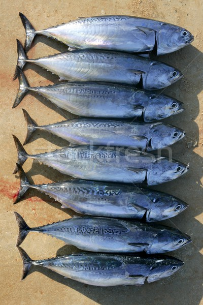 Auxis thazard fish in a row frigate tuna catch Stock photo © lunamarina