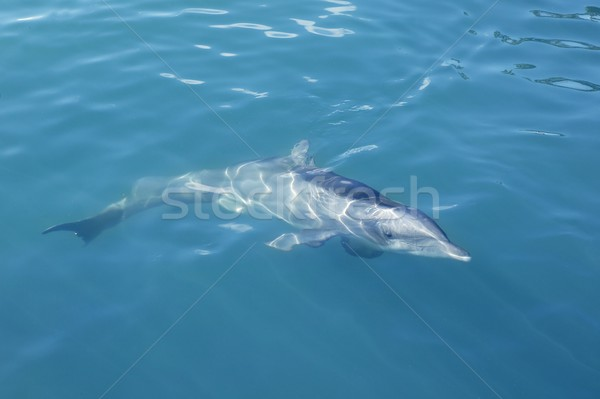 Clever dolphin swimming in blue swimming in blue turquoise water, beauty Stock photo © lunamarina