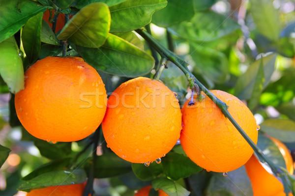 branch orange tree fruits green leaves in Spain Stock photo © lunamarina