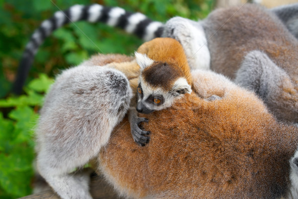 Ring tailed lemurs outdoor forest Stock photo © lunamarina