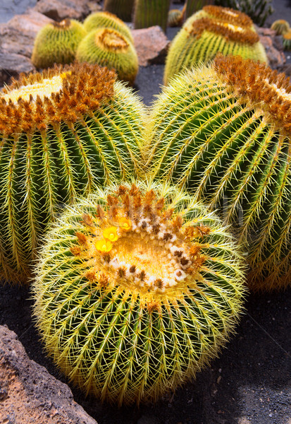 Lanzarote Guatiza cactus garden Echinocactus Macrocentra Stock photo © lunamarina