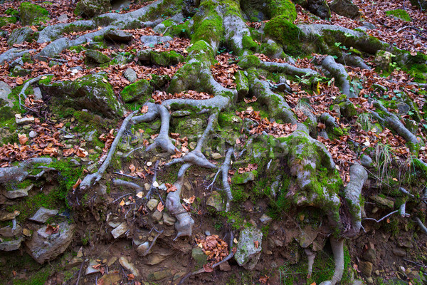 Stock photo: Autumn beech tree forest roots in Pyrenees Valle de Ordesa