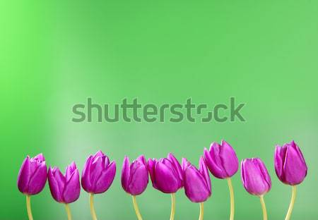 pink tulips flowers in a row group line arrangement Stock photo © lunamarina