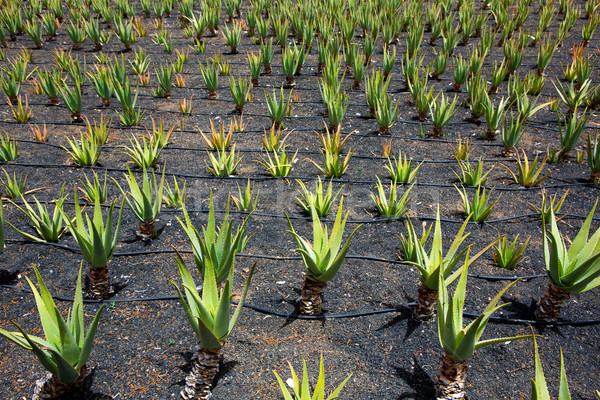 Aloe Vera fields in Lanzarote Orzola at Canaries Stock photo © lunamarina