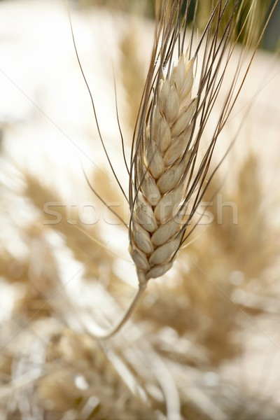 golden wheat cereal, still life Stock photo © lunamarina