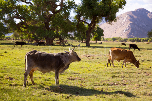 Cows cattle grazing in California meadows Stock photo © lunamarina