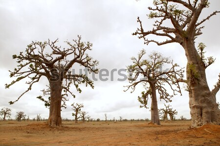 African Baobab tree with livestock eating Stock photo © lunamarina