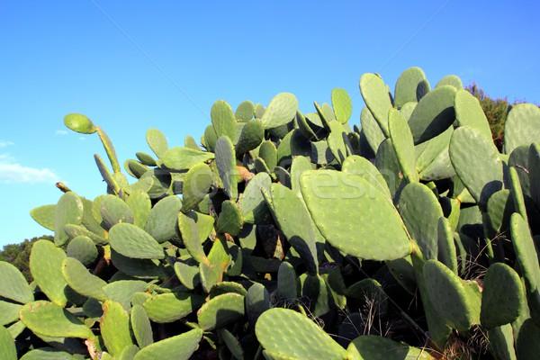 Cactus plant blauwe hemel middellandse zee planten textuur Stockfoto © lunamarina
