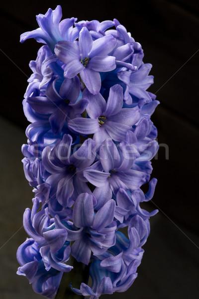 Hyacint Blauw macro zwarte Stockfoto © lunamarina