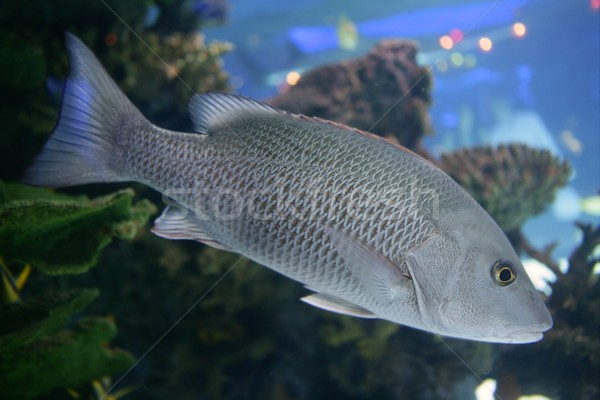 Beautiful Snapper saltwater fish with gray scales swimming Stock photo © lunamarina
