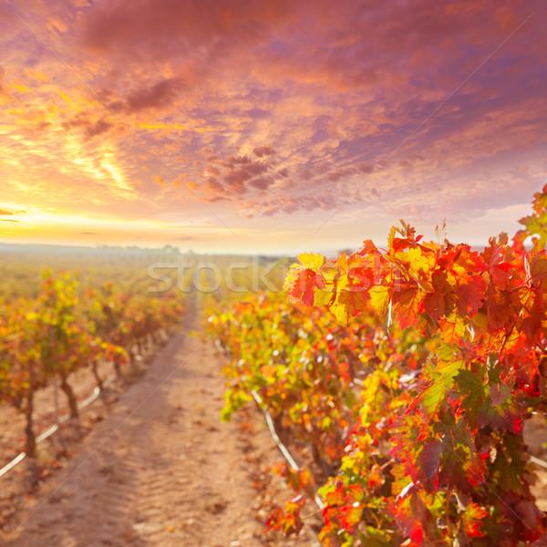 Stock fotó: Napfelkelte · szőlőskert · Spanyolország · szőlő · fa · étel