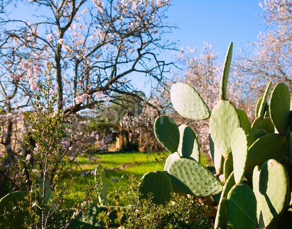 Mediterranean spring in Javea Denia with flower almonds Stock photo © lunamarina