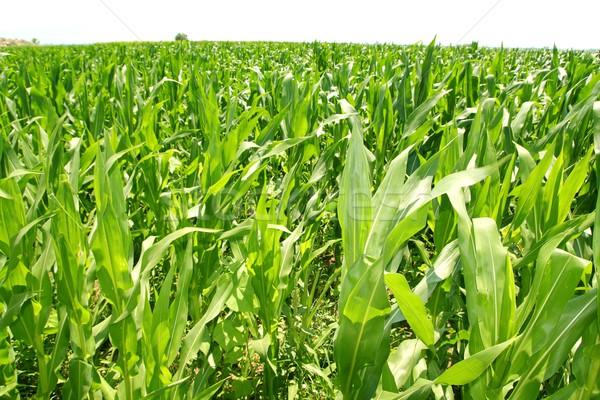 Tarım mısır bitkiler alan yeşil tarla Stok fotoğraf © lunamarina