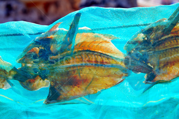Majanicho dried Parrot fish Vieja in Fuerteventura Stock photo © lunamarina