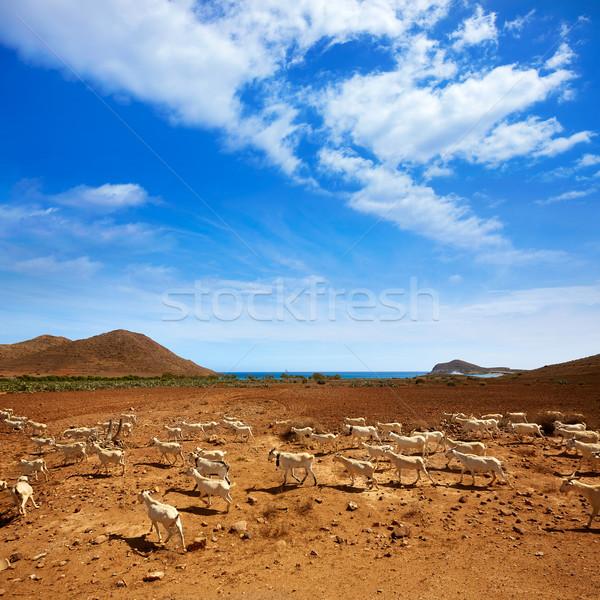 Almeria Cabo de Gata goats in Genoveses beach Stock photo © lunamarina