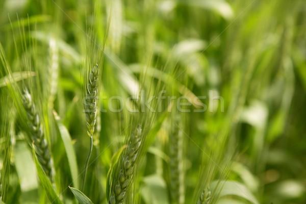Oat Sativa cereal green field Stock photo © lunamarina