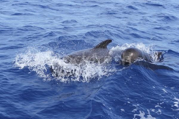 pilot whales free with baby in mediterranean Stock photo © lunamarina