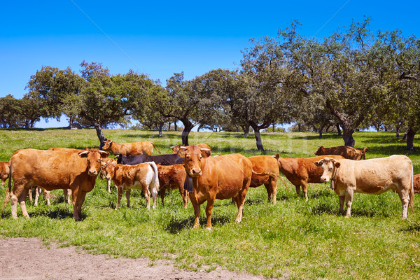 Cows grazing in Extremadura Dehesa Spain Stock photo © lunamarina