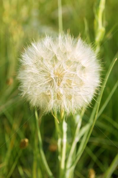 Compositaceae daisy flower seed from Mediterranean Stock photo © lunamarina