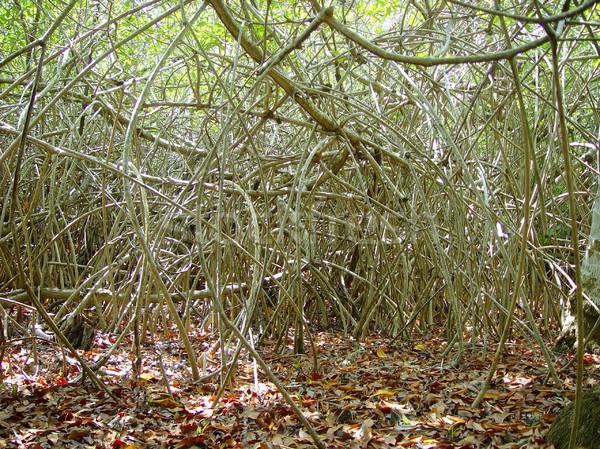 Dzsungel központi Amerika vadon rendetlen ágak Stock fotó © lunamarina