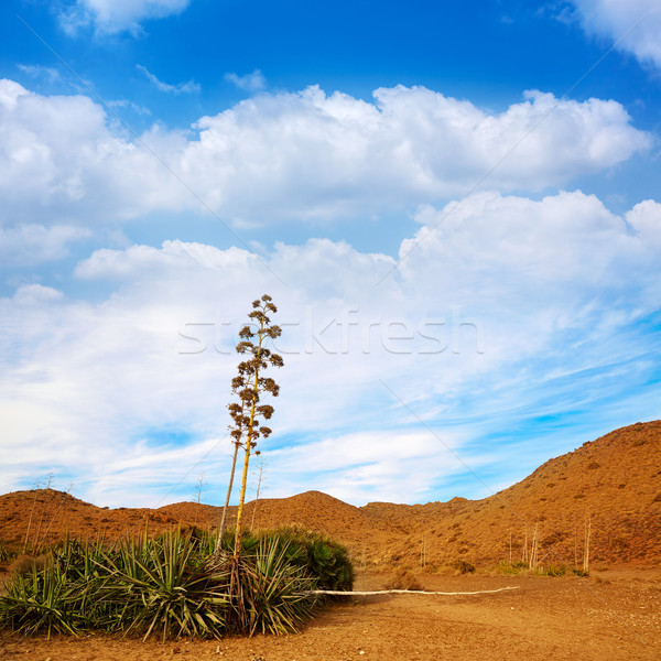 Agavé virágok Spanyolország sivatag természet tájkép Stock fotó © lunamarina