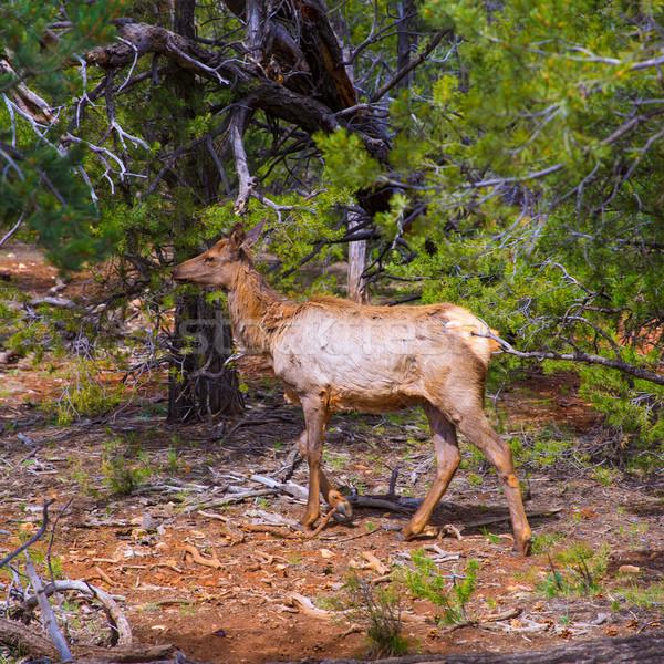 Elk Deer grazing in Arizona Grand Canyon Park Stock photo © lunamarina