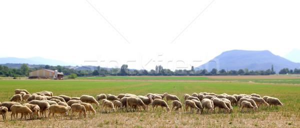 Birka sereg legelő fűmező panorámakép kilátás Stock fotó © lunamarina