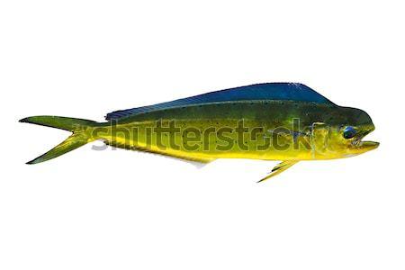Aka Dorado dolphin fish mahi-mahi on white Stock photo © lunamarina