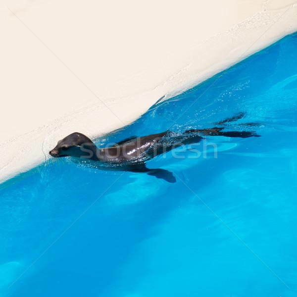 Seal swimming in blue saltwater Stock photo © lunamarina