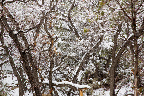Nevada USA spring snow in the trees Stock photo © lunamarina
