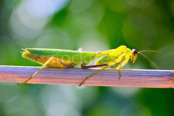 praying mantis insect closeup macro Stock photo © lunamarina