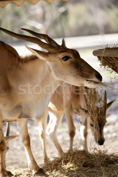 Stock photo: Eland antelope eating farm manger