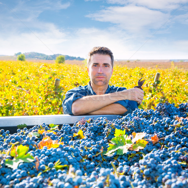 Mediterranean vineyard farmer harvest cabernet sauvignon Stock photo © lunamarina