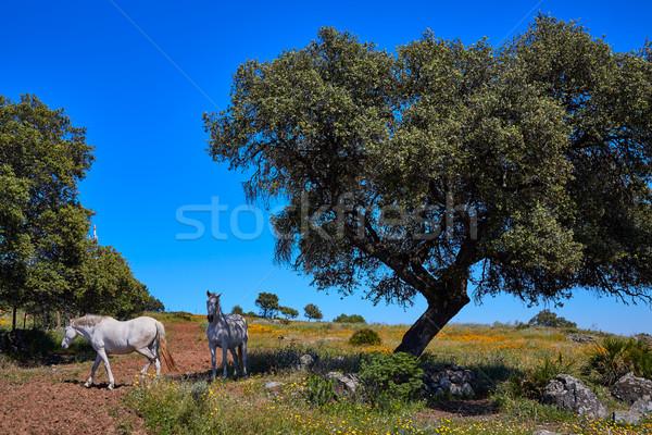 Dehesa grassland by via de la Plata way Spain Stock photo © lunamarina