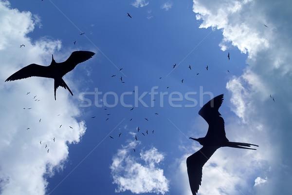 frigate bird silhouette backlight breeding season Stock photo © lunamarina