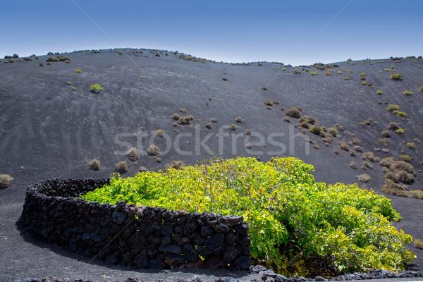 LA szőlőskert fekete vulkáni föld Kanári-szigetek Stock fotó © lunamarina