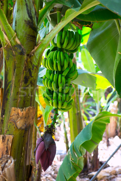 Canarian Banana plantation Platano in La Palma Stock photo © lunamarina