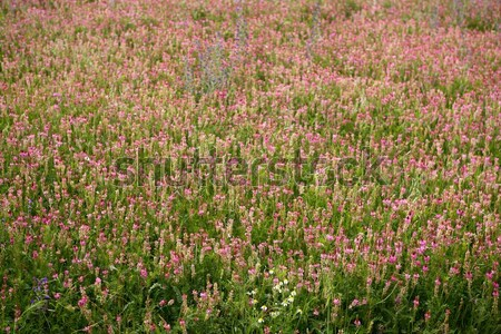 Beautiful Vicia Tinctoria pink flower plant used for natural dye, nature Stock photo © lunamarina