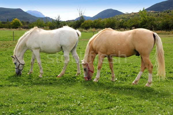 white horses meadow prairie grassland Pyrenees Stock photo © lunamarina