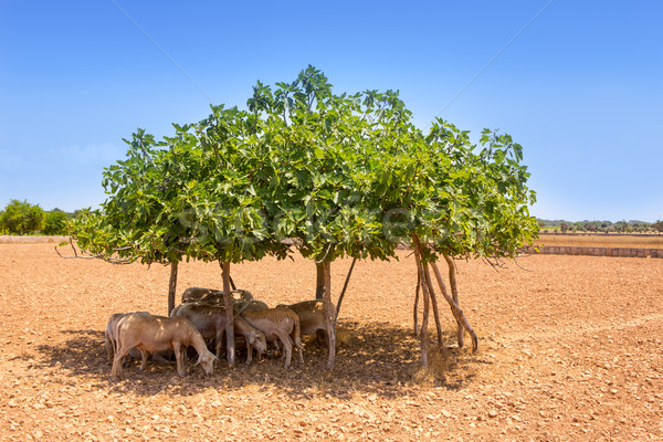 Schapen vijg boom schaduw zomer Stockfoto © lunamarina